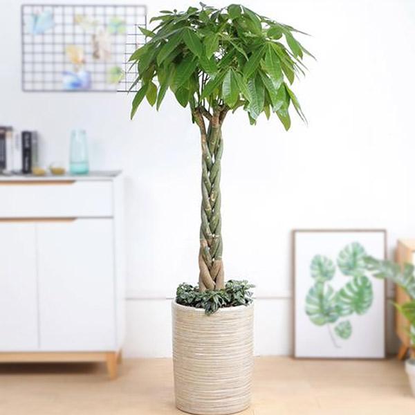 发财树盆栽-开业绿植